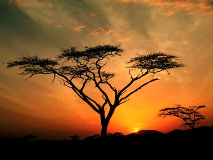 arbre afrique