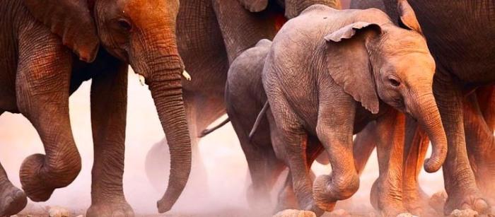 elephants affamés