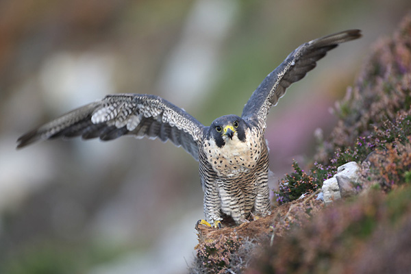 faucon-pelerin
