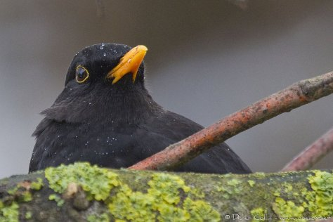 Merle noir Turdus merula Common Blackbird