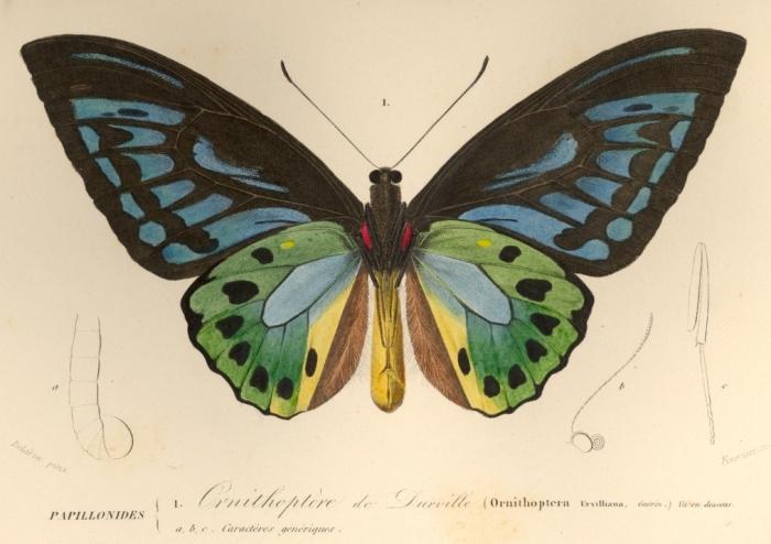 ornithoptère